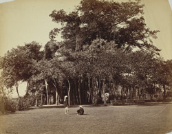 Great banian tree in Barrackpore Park.